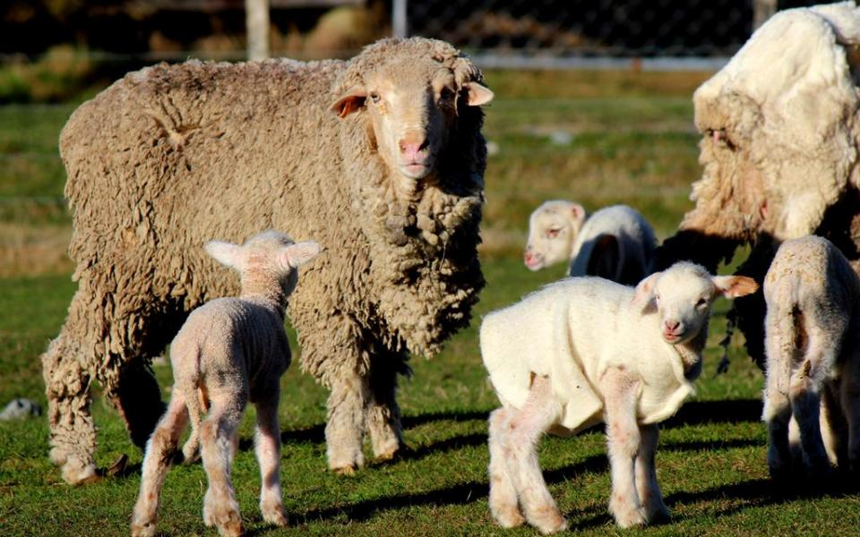 See Merino ewes with their lambs and New Zealand's Wilderness Lodge.