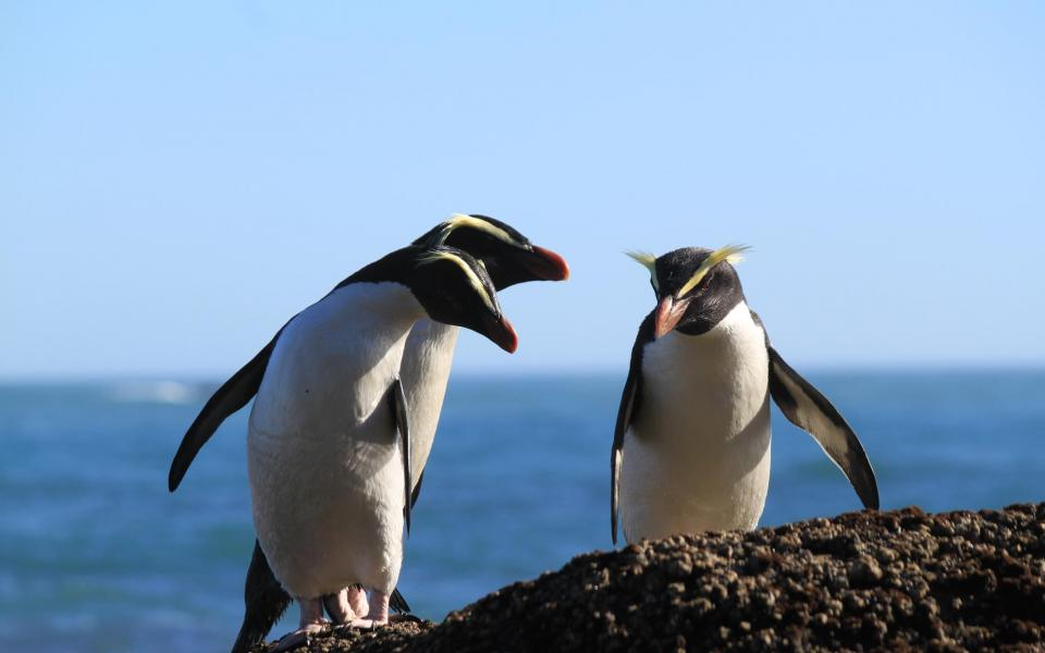 See cute Tawaki Penguins up close on the Lake Moeraki Coastline during your Wilderness Lodge stay.