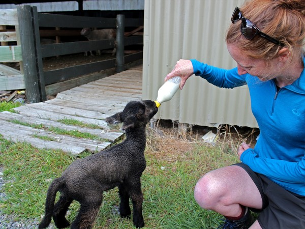 feed orphan lambs on the farm
